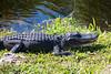 Alligator18
