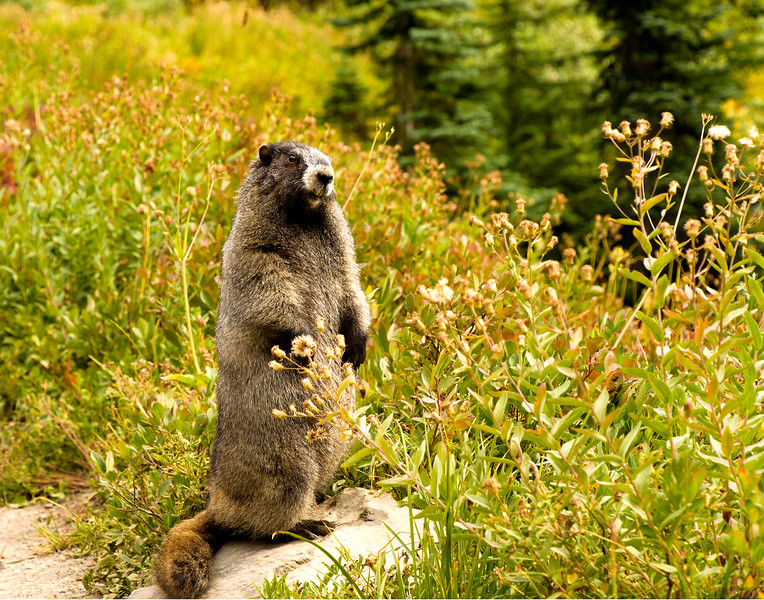 Mr. Marmot