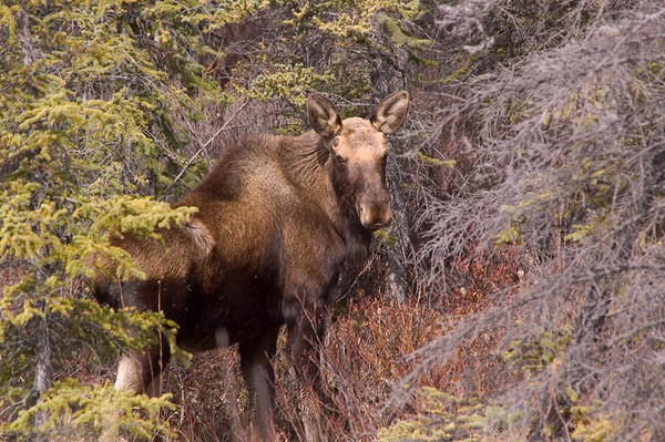 "This bull moose was photographed around mid-May near Glennallen, Alaska. You can see the ""buds"" on the side of his head where his antlers will be coming in."