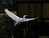 Egret Dark flight