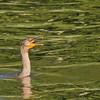Cormorant at Rodman Dam