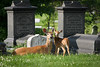 "<b><a href=""http://en.wikipedia.org/wiki/White-tailed_deer"" title=""Odocoileus virginianus"">White-tailed Deer</a></b>"