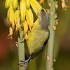 Female Bananaquit on Aloe Plant - St. Thomas, U.S. Virgin Islands