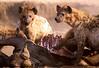 Hyenas devouring gnu
