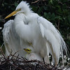 Great Egret and chick