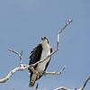 Osprey at Sanibel Island