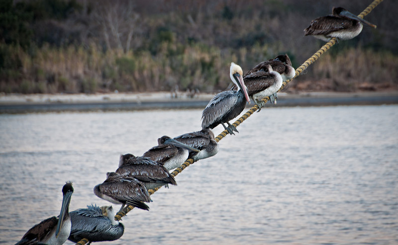 The amazing, balancing Pelicans from Lake Charles, Louisiana.