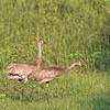 Sandhill Cranes on La Chua Trail