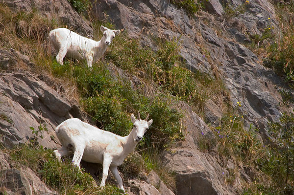 These Dall Sheep, ewe and lamb, were photographed while grazing on the steep cliffs alongside Turnagin Arm south of Anchorage, Alasak in late July.