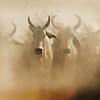Cattle in the Dust