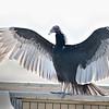 Turkey Vulture at Paynes Prairie