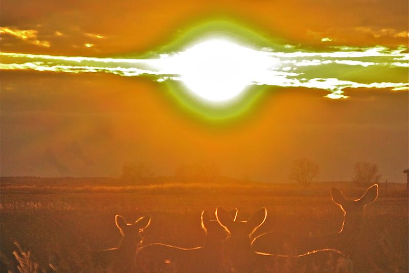 Muledeer sunset