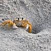 Atlantic Ghost Crab on Mayport Florida Beach