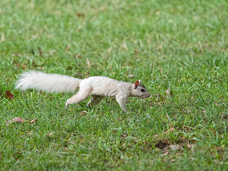 Brevard White Squirrel