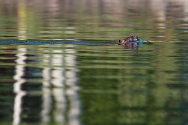 Canadian Beaver, Ontario