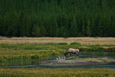 Bull elk - Madison river valley