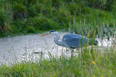 Heron waiting for lunch