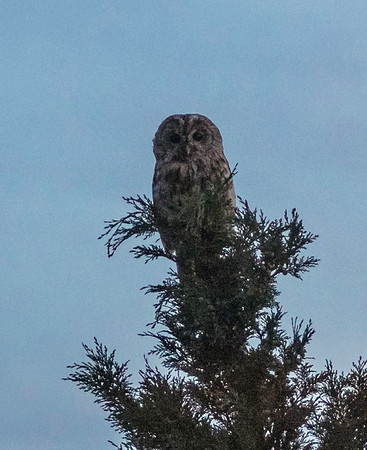 Owl in my garden