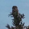 Owl in my garden