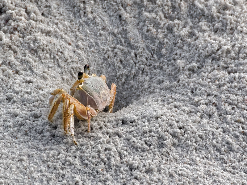 Mayport Ghost Crab