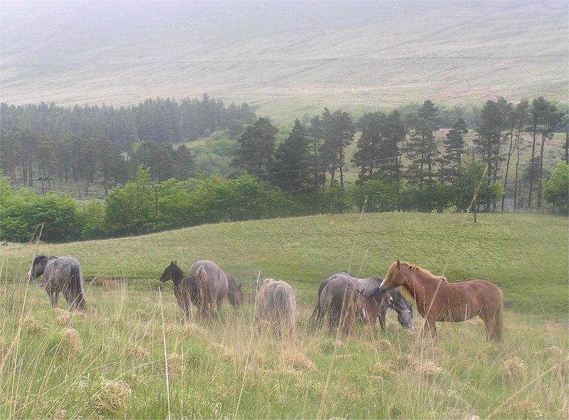 Brecon_Horses_June2005
