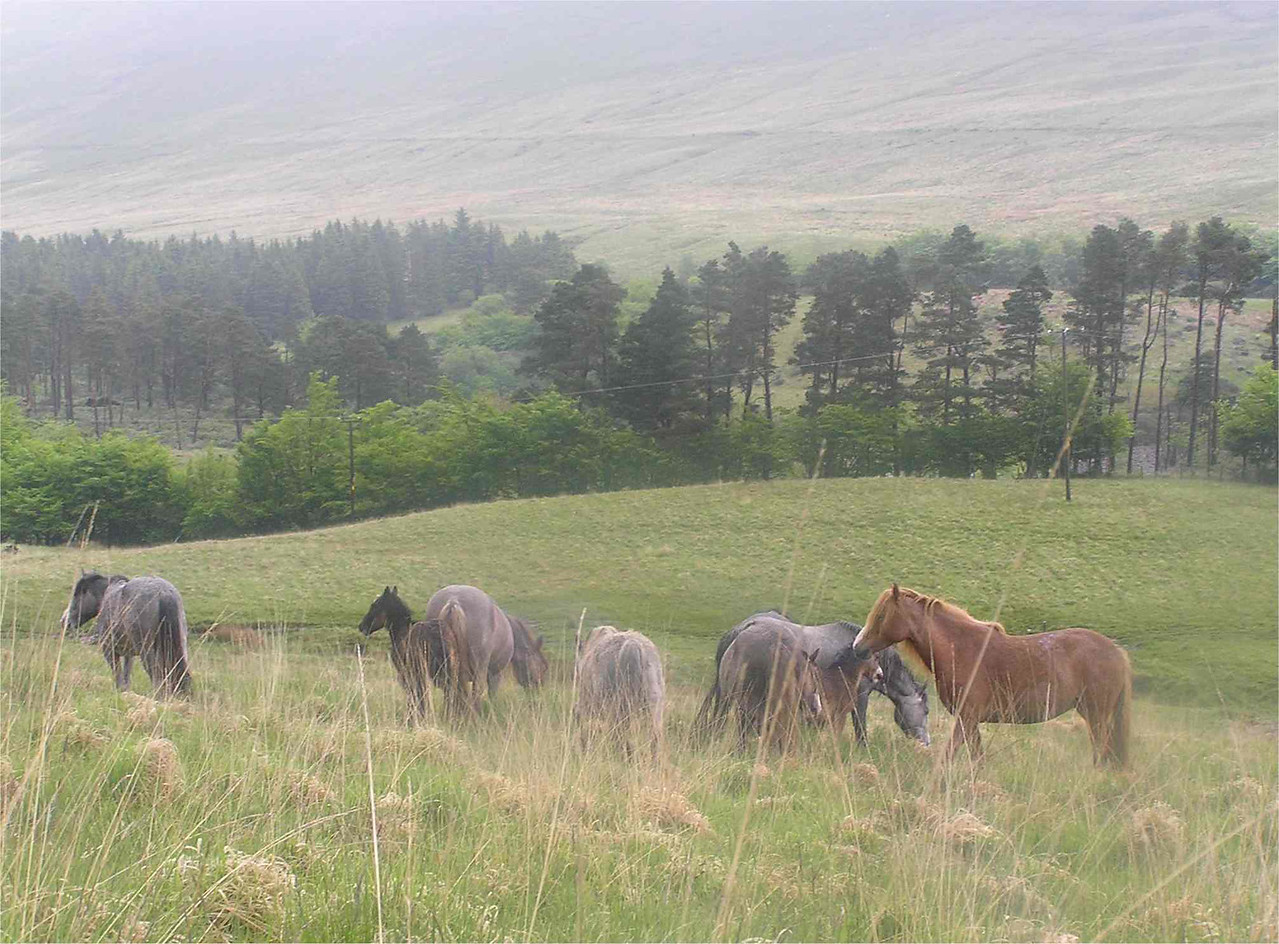 Brecon_Horses_June2005