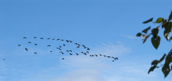 Geese headed south for the winter. This photograph was taken near Cheney Lake on the east side of Anchorage, Alaska.