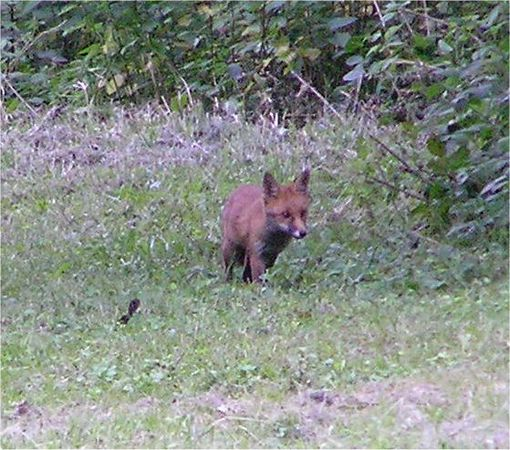 chilterns_fox_June2005
