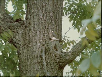 Kestrel in a Tree (00098)