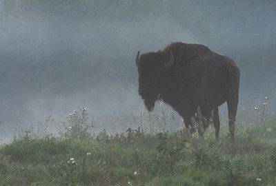 Bison in the mist, Elk Island National Park