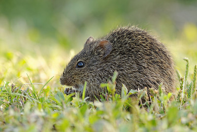 Hispid Cotton Rat - St. Marks NWR, Florida