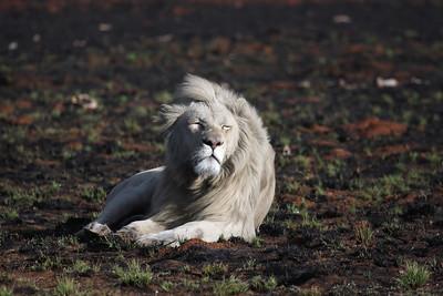 Lion Gauteng, South Africa