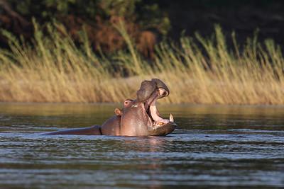 Hippopotamus Zambezi River, Zambia