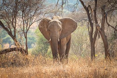 Elephant at Tarangire 4426