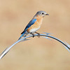 Female Bluebird perched on razor wire - Charlotte Airport -December 6, 2013