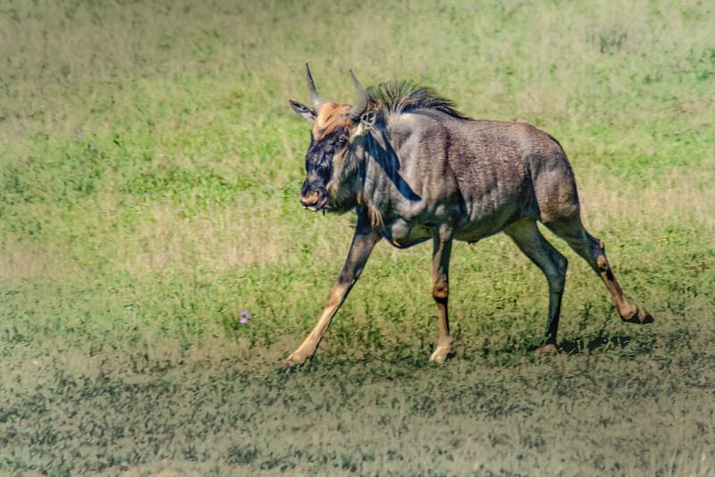 Wildebeest Juvenile