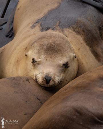 Female Sea Lion