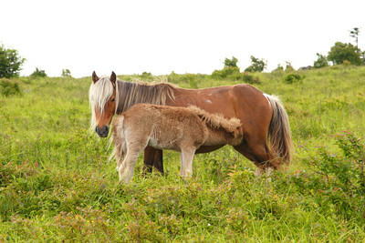 Young wild pony with mother near the Appalachian Trail