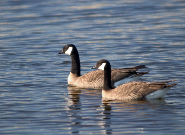 Canadian Geese taken at Potter's Marsh along Turnagin Arm just south of Anchorage, Alaska.