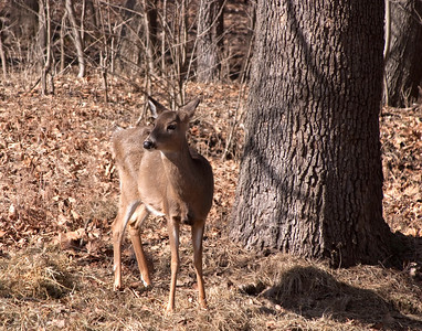 Whitetail Deer - Lone Elk Park - March 2010 - #2
