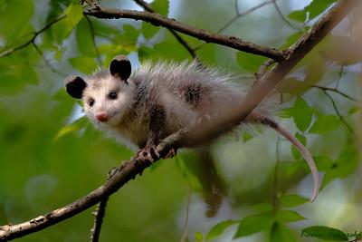 Young Possum