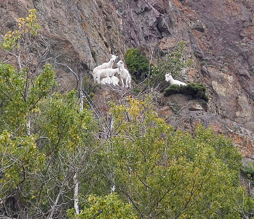 These Dall Sheep were photographed in the Chugach Mountains along Turnagin Arm south of Anchorage, Alaska.