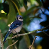 Young Blue Jay, St. Augustine