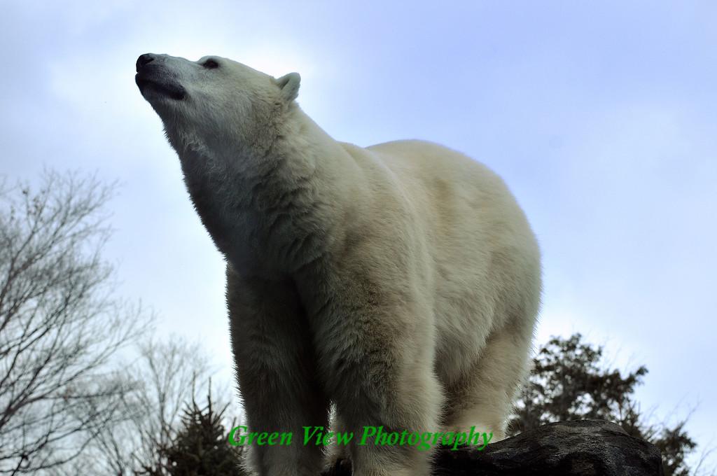Polar Bear Expression