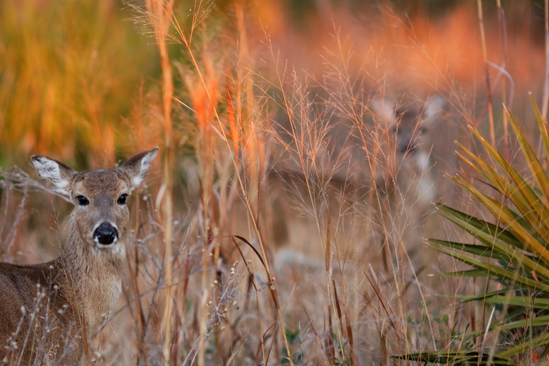 """Ghosts of St. Marks"", Whitetail Deer  - St. Marks NWR, Florida"