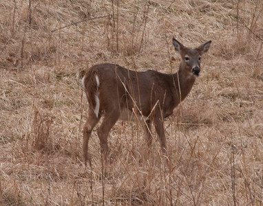 Whitetail Deer, Lone Elk Park