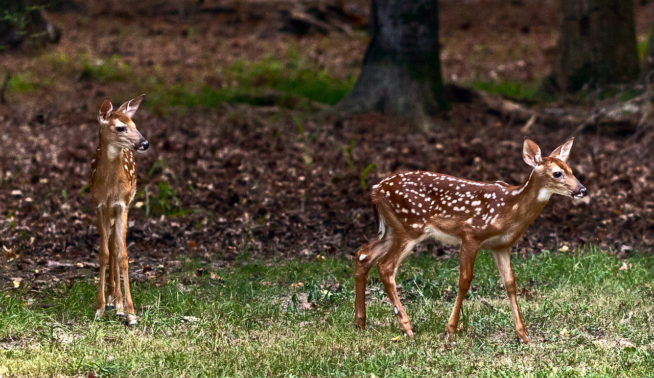 July 21, 2011-I finally caught the fawns playing in the yard. I have known and seen them for a few weeks, but they were shy and stayed in the woods. Tonight as I approached slowly, they came from behind their mother and came  pretty close to me. However it was so humid my camera lens fogged. So those shots were not doable. Here they spotted one of the cats (out of frame) and they started to chase him. I was surprised they weren't scared of me and their mother just looked up when I got close and went back to eating. I guess she trusted me. (202:365)
