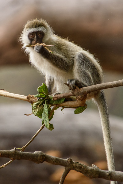 Dental Floss.  Vervet Monkey on the Serengeti
