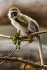 Dental Floss.  Vervet Monkey on the Serengeti