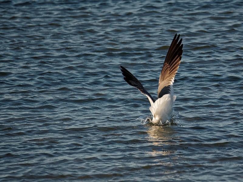 Laughing Gull Goes Fishing